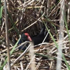 Porphyrio melanotus (Australasian Swamphen) at Belconnen, ACT - 9 May 2020 by wombey