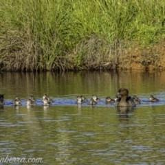 Chenonetta jubata (Australian Wood Duck) at Aranda Bushland - 17 Apr 2020 by BIrdsinCanberra