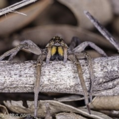 Tasmanicosa godeffroyi (Garden Wolf Spider) at Red Hill Nature Reserve - 14 Apr 2020 by BIrdsinCanberra