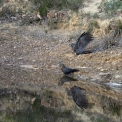 Calyptorhynchus lathami (Glossy Black-Cockatoo) at Penrose - 3 May 2020 by Aussiegall
