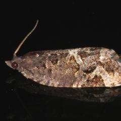 Epitymbia alaudana at Ainslie, ACT - 25 Nov 2019