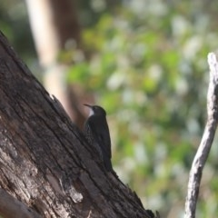 Cormobates leucophaea (White-throated Treecreeper) at Cook, ACT - 9 May 2020 by Tammy