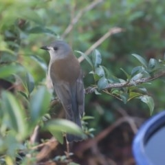 Colluricincla harmonica (Grey Shrikethrush) at Cook, ACT - 9 May 2020 by Tammy