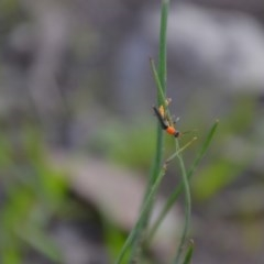 Chauliognathus tricolor (Tricolor soldier beetle) at Wamboin, NSW - 20 Apr 2020 by natureguy