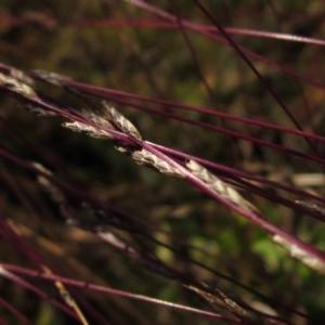Tripogonella loliiformis at Umbagong District Park - 6 May 2020