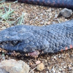 Pseudechis porphyriacus (Red-bellied Black Snake) at Molonglo Valley, ACT - 10 May 2020 by AaronClausen