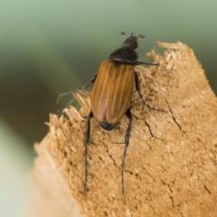 Phyllotocus rufipennis (Nectar scarab) at Illilanga & Baroona - 21 Nov 2019 by Illilanga
