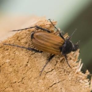 Phyllotocus rufipennis at Michelago, NSW - 22 Nov 2019