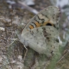 Junonia villida (Meadow Argus) at Illilanga & Baroona - 26 Dec 2017 by Illilanga