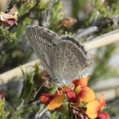Zizina otis (Common Grass-blue) at Illilanga & Baroona - 15 Nov 2017 by Illilanga