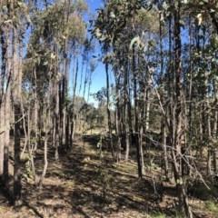 Eucalyptus macrorhyncha (A Red Stringybark) at Stromlo, ACT - 10 May 2020 by Nat
