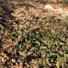 Einadia nutans subsp. nutans (Climbing Saltbush) at Cooleman Ridge - 10 May 2020 by Nat