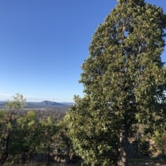 Brachychiton populneus subsp. populneus (Kurrajong) at Cooleman Ridge - 10 May 2020 by Nat