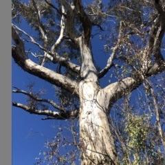Eucalyptus melliodora (Yellow Box) at Duffy, ACT - 10 May 2020 by Nat