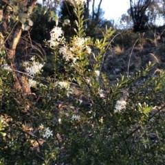 Bursaria spinosa subsp. lasiophylla (Australian Blackthorn) at Cooleman Ridge - 10 May 2020 by Nat
