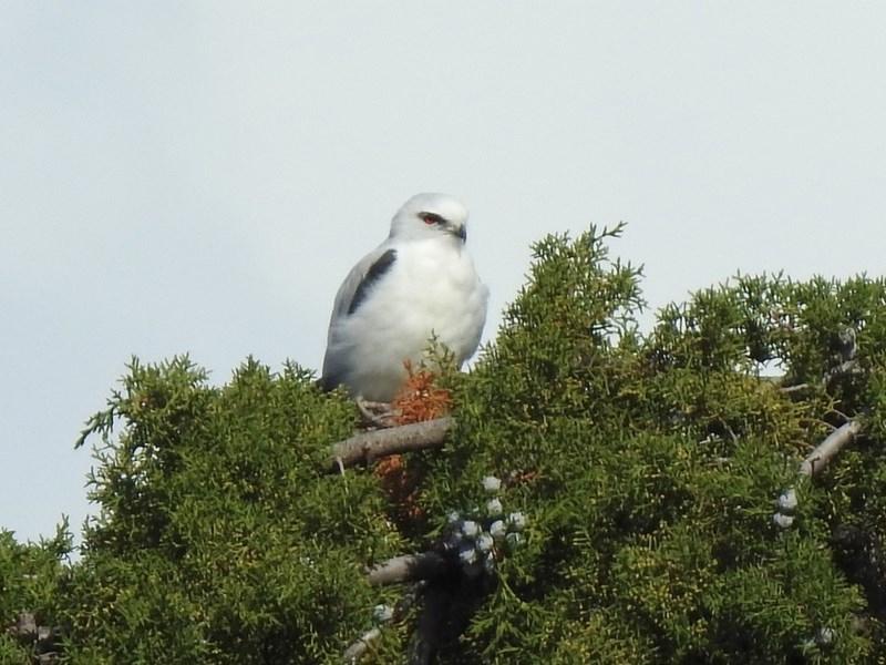 Elanus axillaris at Jerrabomberra Wetlands - 9 May 2020