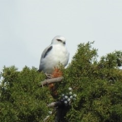 Elanus axillaris (Black-shouldered Kite) at Jerrabomberra Wetlands - 9 May 2020 by RodDeb