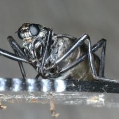 Boreoides subulatus at Ainslie, ACT - 10 May 2020