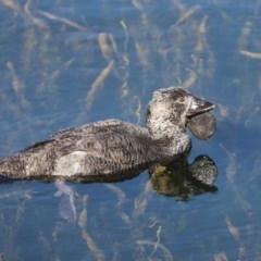 Biziura lobata (Musk Duck) at Yerrabi Pond - 10 May 2020 by Tammy