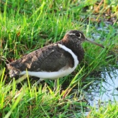 Rostratula australis (Australian Painted-snipe) at Jerrabomberra Wetlands - 8 Oct 2011 by Harrisi