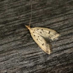 Atheropla decaspila (A concealer moth) at Melba, ACT - 12 Nov 2010 by Bron