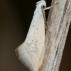 Thalerotricha mylicella (A concealer moth) at Melba, ACT - 3 Oct 2012 by Bron