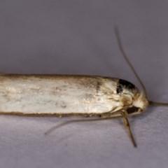 Philobota productella (Pasture Tunnel Moth) at Melba, ACT - 16 Dec 2013 by Bron