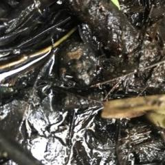 Crinia signifera (TBC) at Red Hill Nature Reserve - 11 May 2020 by TexanReptilian