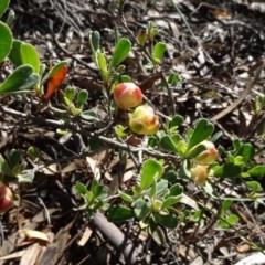 Hibbertia obtusifolia (Grey Guinea-flower) at Aranda, ACT - 11 May 2020 by JanetRussell