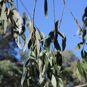 Eucalyptus stellulata at Mongarlowe River - 10 May 2020