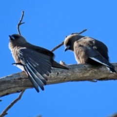 Artamus cyanopterus (Dusky Woodswallow) at Jerrabomberra Wetlands - 11 May 2020 by RodDeb