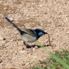 Malurus cyaneus (Superb Fairywren) at Jerrabomberra Wetlands - 11 May 2020 by RodDeb