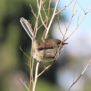 Malurus cyaneus at Jerrabomberra Wetlands - 11 May 2020