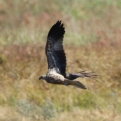 Haliastur sphenurus (Whistling Kite) at Jerrabomberra Wetlands - 11 May 2020 by RodDeb