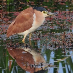 Nycticorax caledonicus at Jerrabomberra Wetlands - 27 Sep 2011