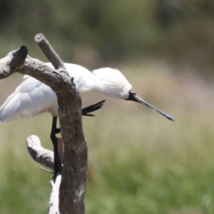 Platalea regia at Jerrabomberra Wetlands - 28 Nov 2019