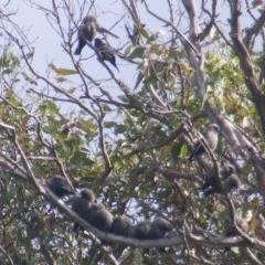 Artamus cyanopterus (Dusky Woodswallow) at Tennent, ACT - 28 Apr 2020 by MichaelMulvaney