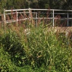 Sorghum halepense (Johnson Grass, Sudan Grass) at Umbagong District Park - 6 May 2020 by pinnaCLE