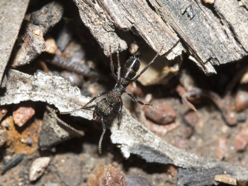 Rhytidoponera metallica at Gossan Hill - 5 May 2020
