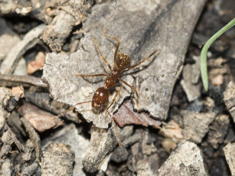 Aphaenogaster longiceps at Gossan Hill - 5 May 2020