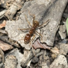 Aphaenogaster longiceps (A funnel ant) at Gossan Hill - 4 May 2020 by AlisonMilton