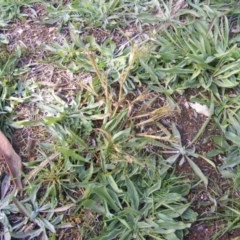 Panicum capillare or P. hillmanii (An exotic invasive panic grass) at Kuringa Woodlands - 12 May 2020 by MichaelMulvaney