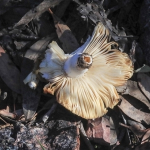 Russula sp. at Gossan Hill - 5 May 2020