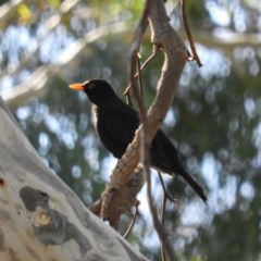 Turdus merula (Common Blackbird) at Kambah, ACT - 10 May 2020 by MatthewFrawley