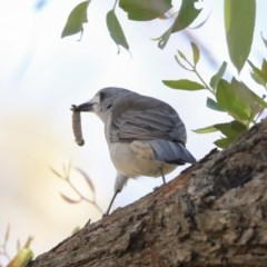 Colluricincla harmonica (Grey Shrikethrush) at ANBG - 12 Mar 2020 by Alison Milton
