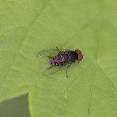 Platypezidae sp. (family) (Unidentified platypezid fly) at Higgins, ACT - 7 Mar 2020 by AlisonMilton