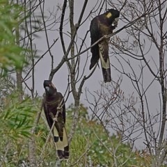 Calyptorhynchus funereus (Yellow-tailed Black-cockatoo) at Brogo, NSW - 12 May 2020 by MaxCampbell
