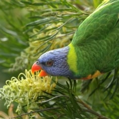 Trichoglossus haematodus (Rainbow Lorikeet) at Merimbula, NSW - 6 May 2020 by Leo