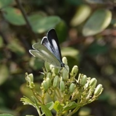 Candalides absimilis (Common Pencil-blue) at Black Range, NSW - 26 Jan 2020 by AndrewMcCutcheon