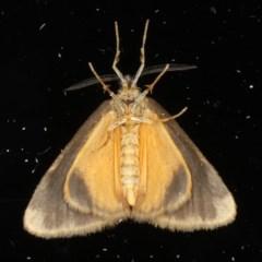 Anestia (genus) at Ainslie, ACT - 12 May 2020